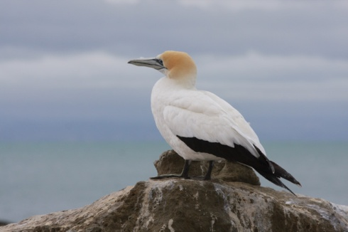 Gannet against the sky