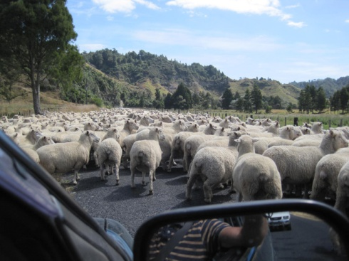 New Zealand Romsey sheep