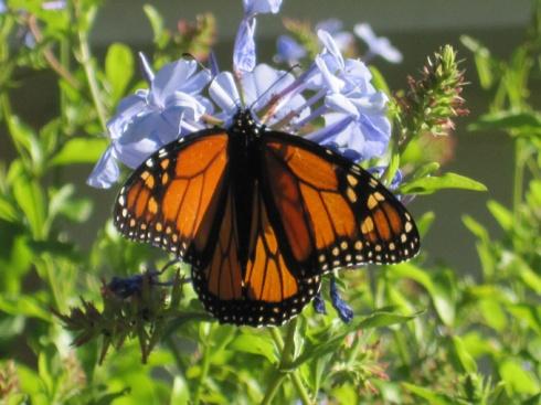 Pentlands butterfly